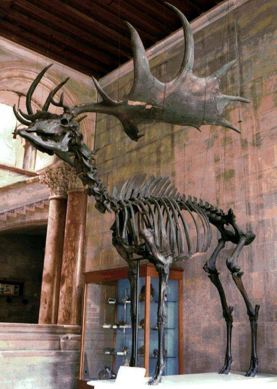 "rhubarbes: ""The Irish Deer or Giant Deer via Paleontology "" Elk… that's an Irish elk… Megaloceros giganteus… Although, they were actually ranged across northern Europe and Asia from Ireland to Siberia, and aren't related to modern American Elk (or..."