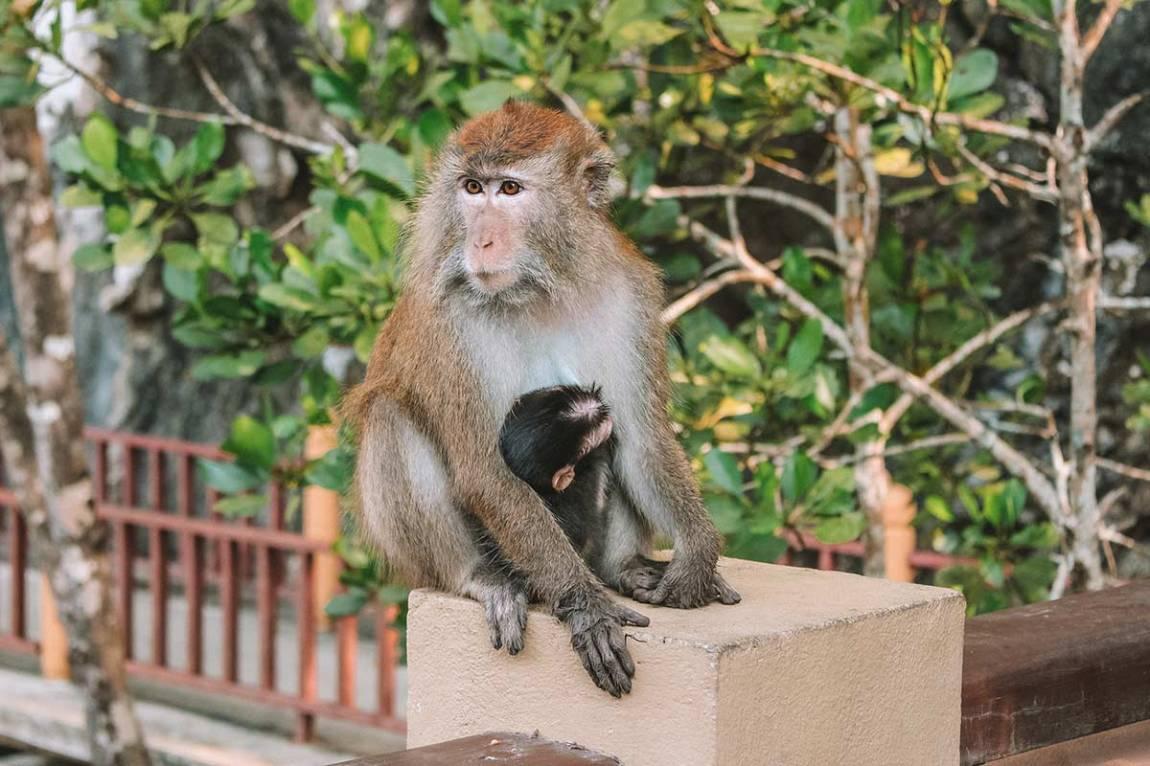 Monkey  in Langkawi Malaysia