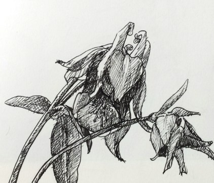 Akelei, fineliner in schetsboek, 2017