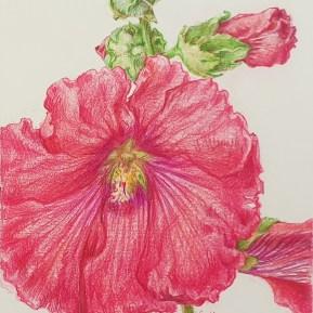 Stokroos, kleurpotlood op papier, 12x10 cm, 2020