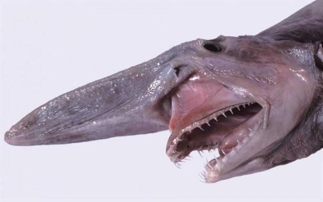 tubarão-duende
