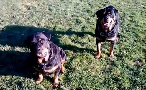 Brutus-hank-dogs