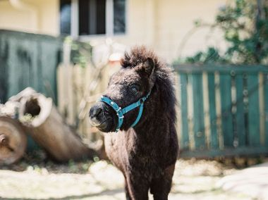 The miniature horse is too cute for words
