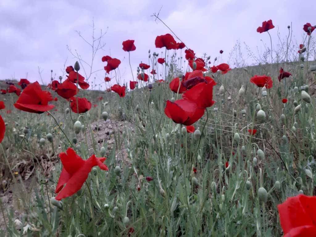 маковое поле в Турции