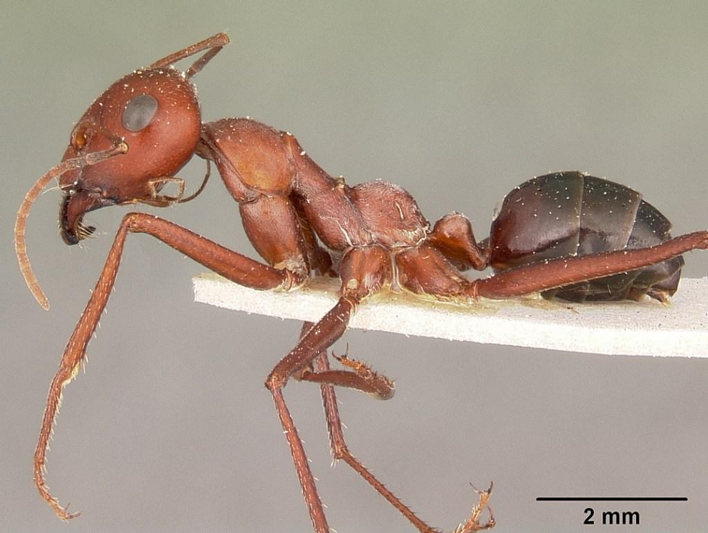 Sahara Desert Ant