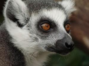 Madagascar lemur. Image by Lars Schlageler on Pixabay.