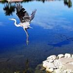 greatblue-heron-airborne
