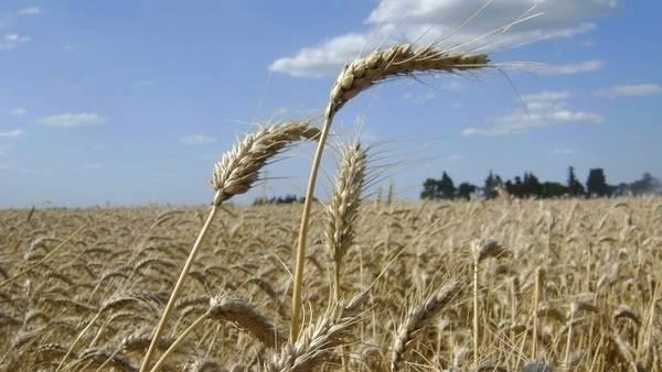 La Argentina llegó a vender más de 6 millones de toneladas de trigo a Brasil, antes de las restricciones para exportar.