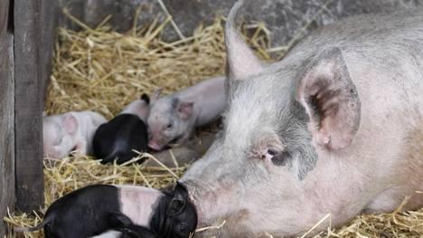 Hace diez años, el 90% del consumo de cerdo en el país era en fiambres. Ahora, e cambio, el 60% es carne fresca.
