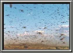 Huge swarm of locusts