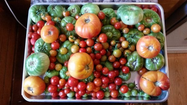 Lots of different types of tomatoes