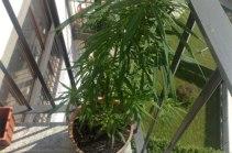 Pratella_marijuana sul balcone
