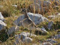 Il Piviere Tortolino: avvistamento raro per il Matese