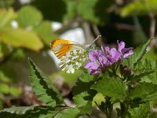 farfalla matese nostrum