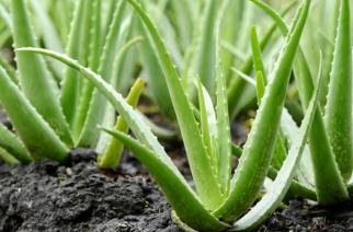 Growing Aloe Vera Outdoors And How To Care For It