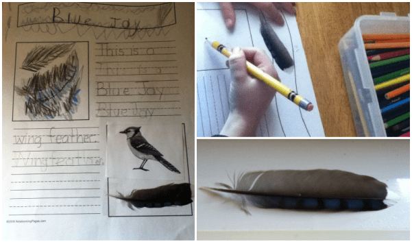 Researching a feather we found and using copywork to noteboo - attaching a printed picture and the actual feather to the page.