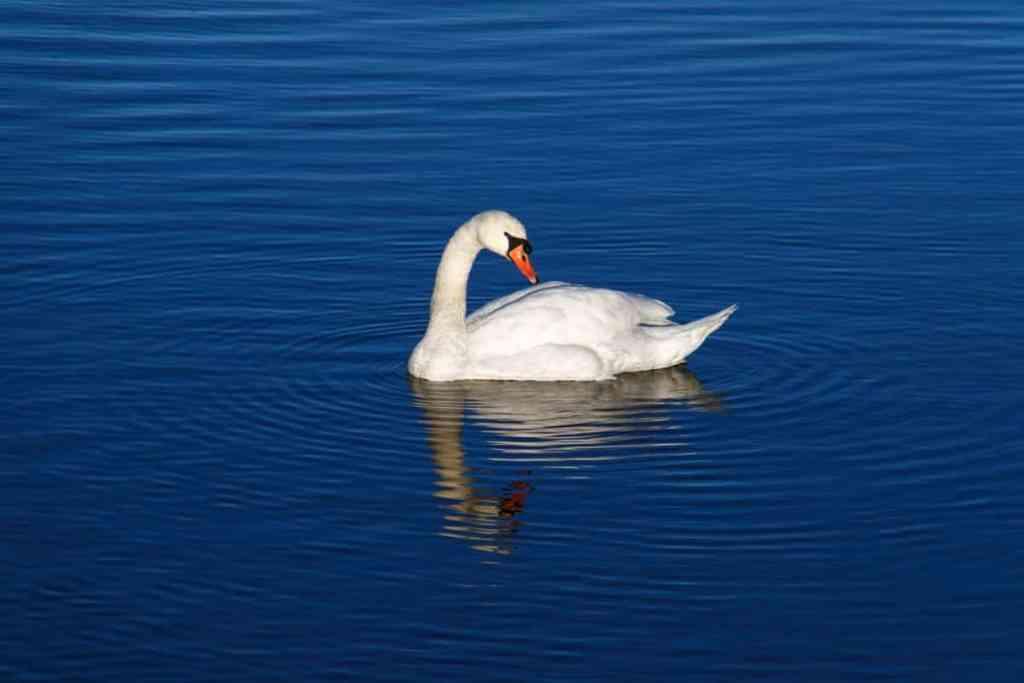 Hamsa Bird Image