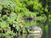 A huge non-native snapping turtle basks in the pond near giant South American gunnera leaves, both dramatic sights for visitors.
