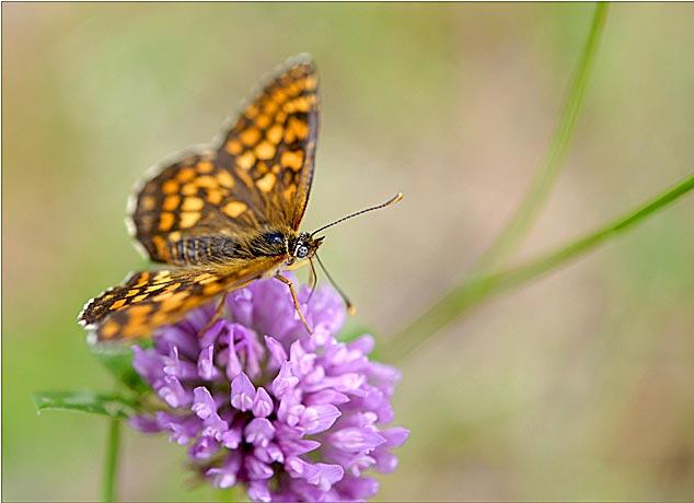 papillon damier atalie
