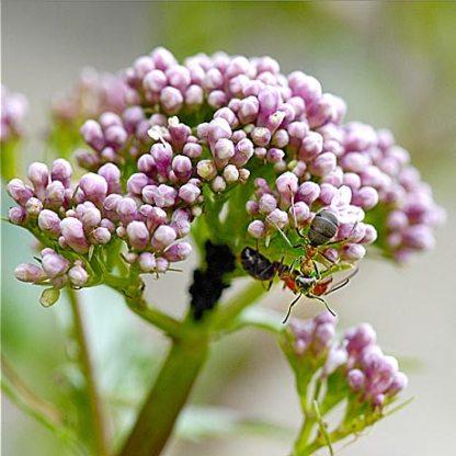Eupatoire en bouton visité par des fourmis