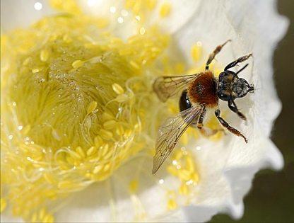 Anémone inondée et abeille