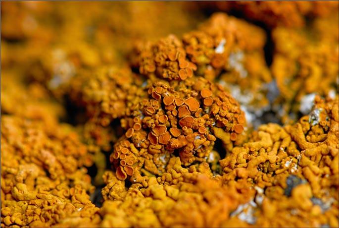 Lichen xanthoria elegans
