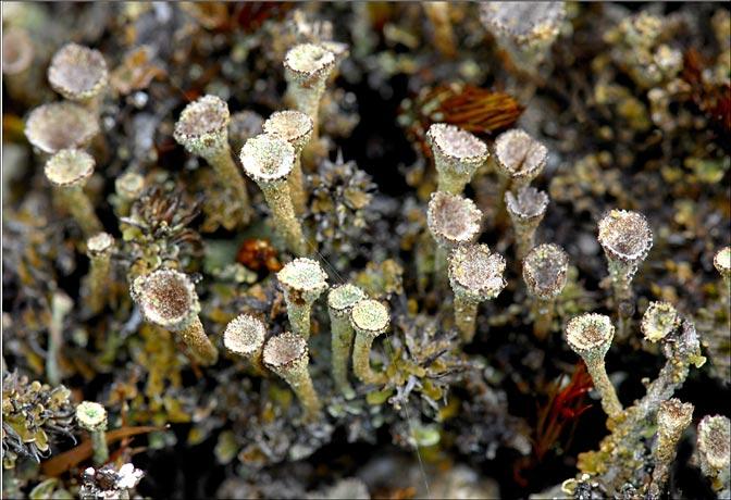 Cladonia mousse lichenisée