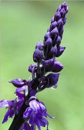 """Ophrys """"mouillé"""""""