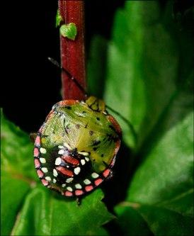 insecte punaise 2