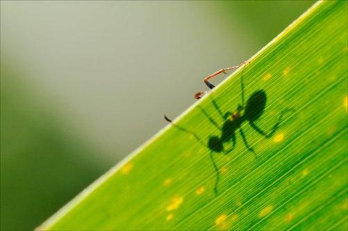 ombre de fourmi
