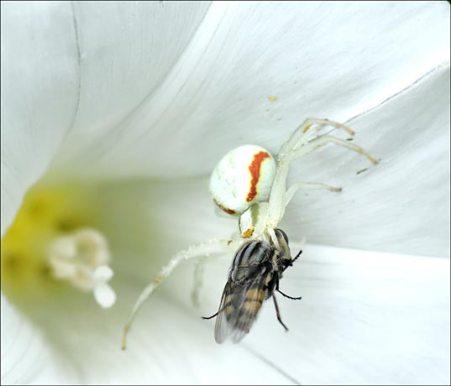 Thomise et sa proie, une mouche