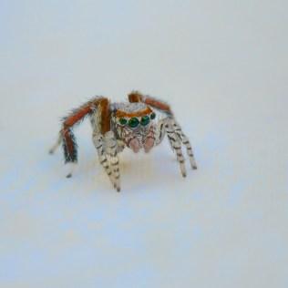 araignée sauteuse saltique