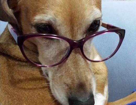 cadela chamada Lady , raça desconhecida, na cor marrom claro, usando óculos e fazendo cara de intelectual.