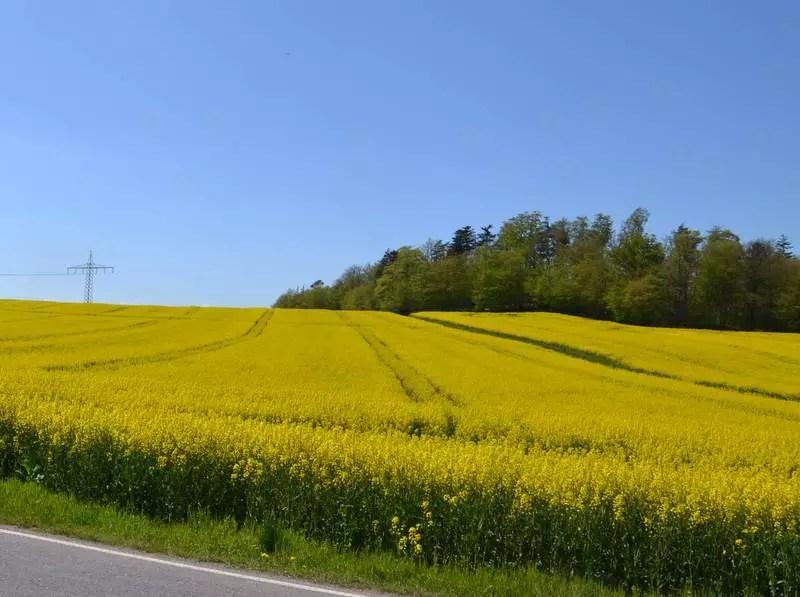 Rapsfeld Thüringen