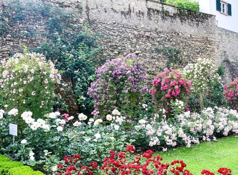 Rosengarten in Eltville