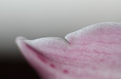 Pink Orchidea