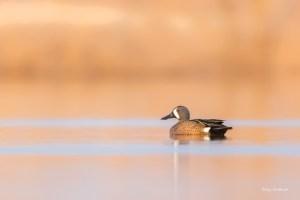 Blue-winged Teal at Ten Mile Pond