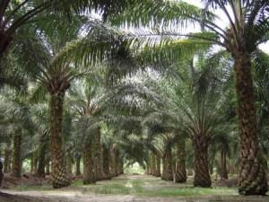 Malaysia_Palm