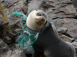 seal-plastic-pollution