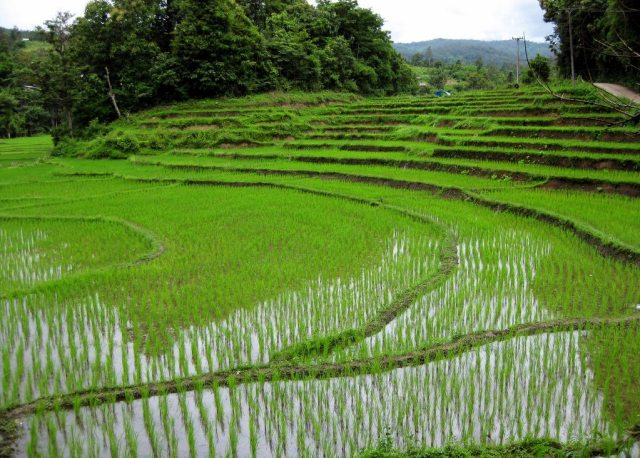 thailand-rice-industry