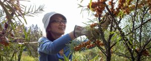 karma yoga activity - picking seabuckthorn berries at Clear Sky