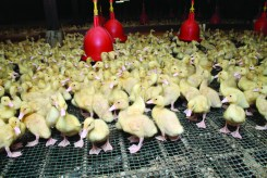 Crescent Duckling - Agriculture Building