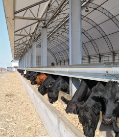 Cattle Feeding in Beef Master System