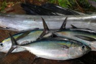 Fresh catch of Black Fin Tuna