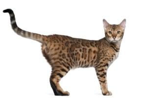 bengal cat 4