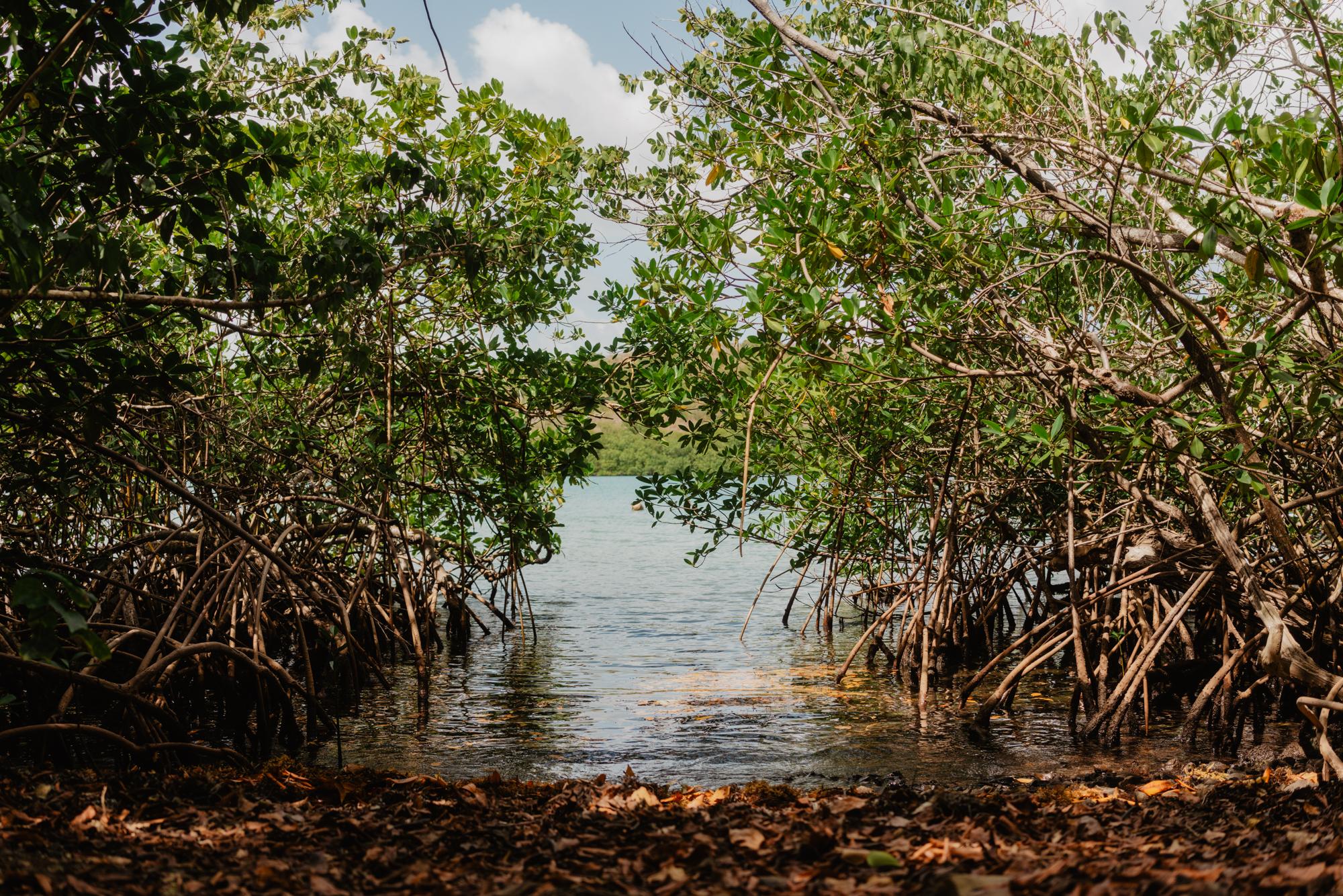 Boucle du Vauclin, Martinique. Mangrove à Trou Cochon