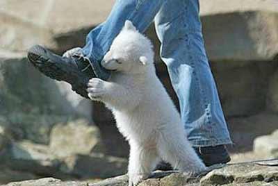 baby polar bear attacks a man's leg