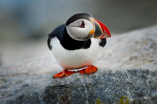 black, red and white photo of a puffin