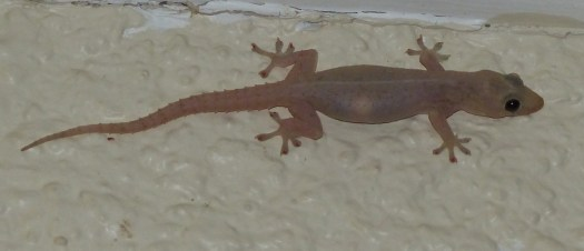 barking geckos in Vanuatu