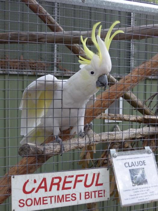 Claude the cockatoo